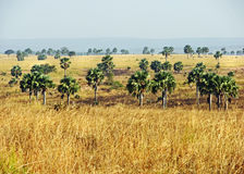 Afrikanskt savannlandskap & palmträd Uganda Royaltyfri Fotografi