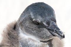 Afrikanskt skott för pingvinhönahuvud Arkivbild