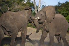 afrikanskt slåss för botswana elefanter arkivbild
