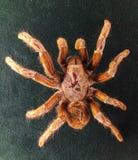 Afrikanskt stort spindelprov Arkivbild