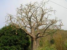 Afrikanskt trä Fotografering för Bildbyråer