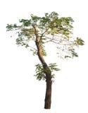 Afrikanskt träd Fotografering för Bildbyråer