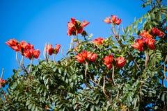 Afrikanskt tulpanträd på La Palma royaltyfria bilder