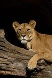 afrikanskt vänta för lion Fotografering för Bildbyråer