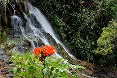 AfrikanTulip Tree blomma och vattenfall i Kauai Hawaii fotografering för bildbyråer