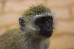 AfrikanVivd apa i träd fotografering för bildbyråer