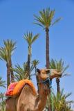 Afrique, Maroc, Marakech, chameaux, chameau Images libres de droits