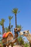 Afrique Maroc, Marakech, chameaux, Tourisme Royaltyfria Foton