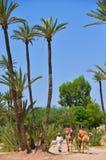 Afrique Maroc, Marakech, chameaux, Tourisme Royaltyfri Fotografi
