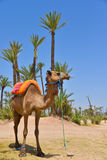 Afrique Maroc, Marakech, chameaux, Tourisme Arkivfoton