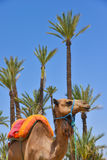Afrique, Maroc, Marakech, chameaux, wielbłąd obrazy royalty free