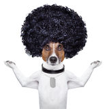 Afro dog. Afro look dog with very big curly black hair royalty free stock photography