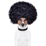 Afroblick-Haarhund lustig Lizenzfreies Stockbild