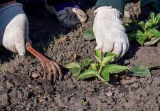 Afrouxando o solo perto de um arbusto de morango Foto de Stock