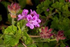 afrter kwiatu pelargonium deszcz Obraz Stock