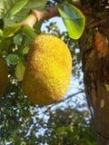 Afruit дуриана на дереве Стоковая Фотография