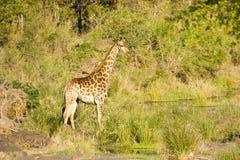 afryce żyrafy kruger parku narodowego na południe od dzikich Fotografia Stock