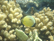 afryce angelfish Egiptu morza czerwonego fotografia royalty free