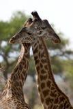 afryce parku narodowego zwierzęcego wilder serengeti Zdjęcie Royalty Free