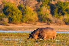 afryce przyrody Afrykański hipopotam, Hipopotamowy amphibius capensis z wieczór słońcem, zwierzę w natury wody siedlisku, C Fotografia Stock