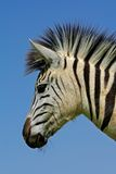 afryce równiien portret zebra na południe zdjęcie royalty free