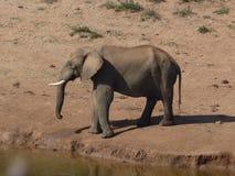 afryce słonia na południe Zdjęcie Stock