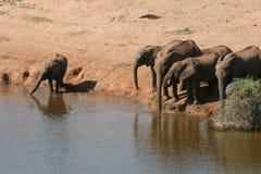afryce słonie południowy Zdjęcia Royalty Free