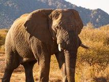 afryce słonie południowy Zdjęcia Stock