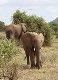 afryce słonie Obrazy Stock