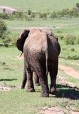 afryce słonie Obraz Royalty Free