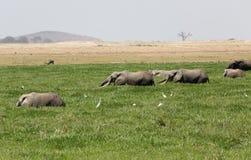 afryce słonie Zdjęcie Stock