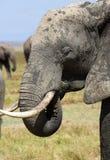afryce słonie Zdjęcia Royalty Free