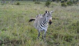 afryce safari Obraz Royalty Free
