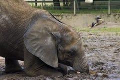afrykańscy africana słonia loxodonta potomstwa Obrazy Stock