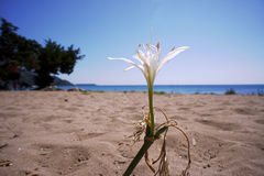 Afrykański agapantu kwiat na plaży Zdjęcie Royalty Free