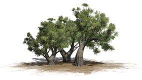 Afrykańscy drzewa oliwne na piaska terenie na białym tle Obrazy Stock