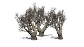 Afrykańscy drzewa oliwne w zimie na białym tle Obrazy Royalty Free