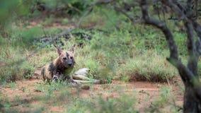 Afrykańscy dzicy psy w Południowa Afryka obraz royalty free