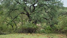Afrykańscy dzicy psy w Południowa Afryka zdjęcie stock