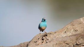 Afrykańscy Dzicy ptaki Śliczny błękit - Błękitny Waxbill - Obraz Royalty Free