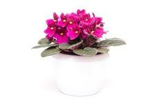 Afrykańscy fiołki z kwiatami obrazy stock
