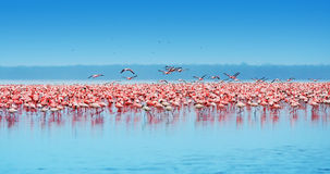 afrykańscy flamingi