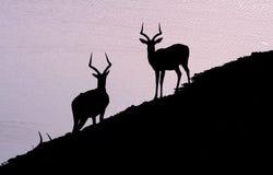 afrykańscy impalas Obrazy Royalty Free
