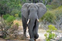 Afrykańscy krzaków słonie (Loxodonta africana) Obraz Royalty Free