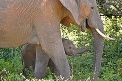 Afrykańscy krzaków słonie (Loxodonta africana) Zdjęcia Royalty Free
