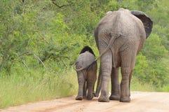 Afrykańscy krzaków słonie (Loxodonta africana) Obrazy Stock