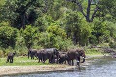 Afrykańscy krzaków słonie w Kruger parku narodowym, Południowa Afryka Fotografia Royalty Free