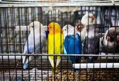 Afrykańscy Lovebirds na zwierzę domowe rynku (Agapornis) Obrazy Stock