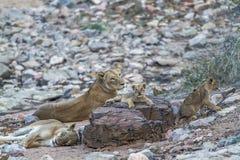 Afrykańscy lwy rodzinni w Kruger parku narodowym, Południowa Afryka Obraz Stock