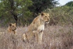 Afrykańscy lwy w Kruger parku narodowym, Południowa Afryka Zdjęcie Stock